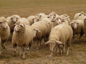 flock-of-sheep-49666_1280