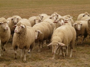 flock-of-sheep-49666_1280