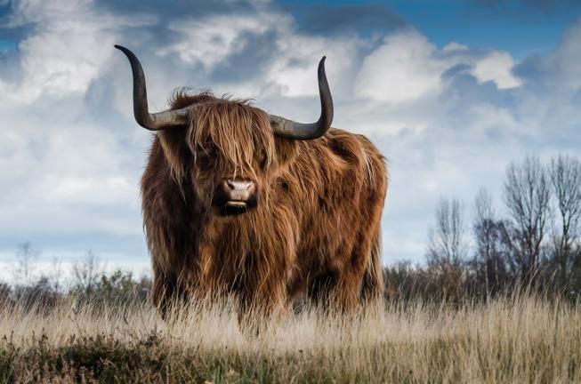 bull-1575005_1920