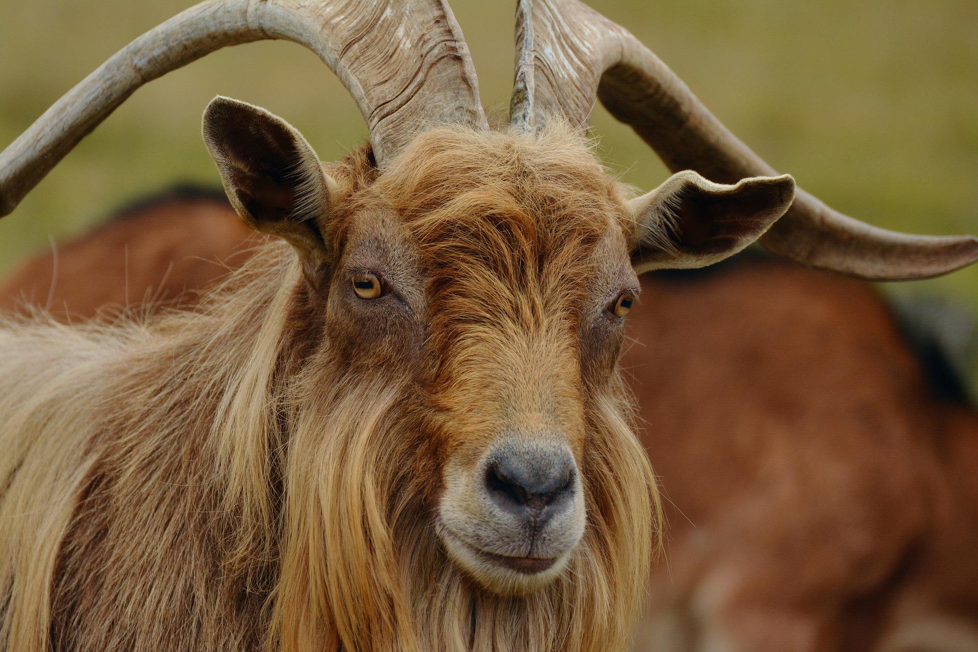 billy-goat-1698303_1920